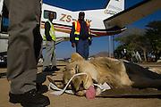 Lion darted for relocation to Malawi (Panthera leo)<br /> Veterinarian Gareth Zeiler intubating anaesthetized lion for flight transportation<br /> Pilansberg Game Reserve<br /> North West Province<br /> SOUTH AFRICA