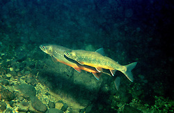 Salvelinus alpinus salvelinus,  Mating Artic Char, mating season with mating colour, Seesaibling Laichzeit, Laichfaerbung, Grundlsee, Oestereich