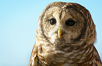 Barred Owl, (Strix varia), Assateague Island National Seashore, Maryland USA