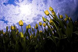 July 21, 2019 - Tulips And Sky (Credit Image: © Richard Wear/Design Pics via ZUMA Wire)