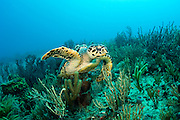 A Hawksbill Sea Turtle, Eretmochelys imbricata,  swims over a coral reef in Palm Beach County, Florida. Endangered.