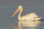 American White Pelican - Pelecanus erythrorhynchos - Immature