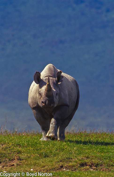 Black rhino, Ngorongoro Conservation Area, Tanzania. Black rhino, one of only about 60 in the 10,000 square mile Serengeti ecosystem; critically endangered; poaching is rampant. Once numbered in the thousands here.