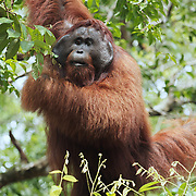 Orang-utan (Pongo pygmaeus) large male, Tanjung Puting National Park. Borneo