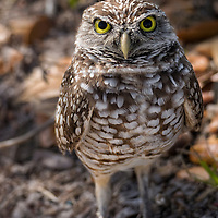Male burrowing owl keeping a watchful eye on visitors wanting homographs. Cape Coral, Florida