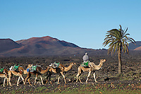 Espagne, Iles Canaries, Ile de Lanzarote, Le Parc National de Timanfaya, excursion en chameau sur le volcan // Spain, Canary islands, Lanzarote, National Park of Timanfaya, excursion on camel to visit the volcano
