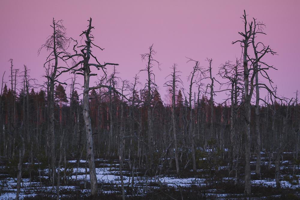 Dusk replaces sunset light over standing dead pine trees (Pinus sylvestris) in area of forest and bog burn, Kemeri National Park (Ķemeru Nacionālais parks), Latvia Ⓒ Davis Ulands | davisulands.com