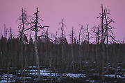 Dusk replaces sunset light over standing dead pine trees (Pinus sylvestris) in area of forest and bog burn, Kemeri National Park (Ķemeru Nacionālais parks), Latvia Ⓒ Davis Ulands   davisulands.com