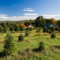 Christmas trees grow at Green Mountain Orchards in Putney, Vermont.  Connecticut River Valley.