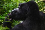 A side view portrait of the head of a mountain gorilla (Gorilla beringei beringei),Bwindi Impenetrable Forest, Uganda, Africa