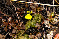 The aquatic leafy bladderwort growing in the wetlands of the Big Cypress National Preserve in Monroe County. This was photographed in the beginning of the dry season, and receding water levels left this plant high and dry.