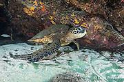 green sea turtle or honu, Chelonia mydas, resting inside small cavern in reef, Honaunau, Kona, Hawaii ( Central Pacific Ocean )