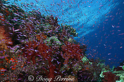 basslets, Luzonichthys sp., and goldies, Pseudanthias squamipinnis, swarm over coral bommie covered with soft corals, Dendronephthya sp., Beqa Lagoon, Viti Levu, Fiji ( South Pacific )