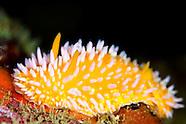 Cadlinella ornatissima