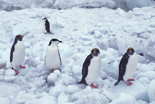 Rockhopper Penguin, (Eudyptes chrysocome) And  Chinstrap (Pygoscelis antarctica) South Sandwich Islands.