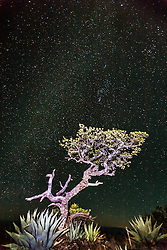 Tree, agave and stars on South Rim of Chisos Mountains into Mexico, Big Bend National Park, Texas, USA.