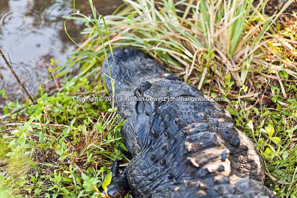 An American alligator (Alligator mississippiensis) rests on land in Everglades National Park. WATERMARKS WILL NOT APPEAR ON PRINTS OR LICENSED IMAGES.