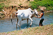 Farmer washing his cow/ox after a day in the rice paddy in Solo, Indonesia <br /> <br /> Editions:- Open Edition Print / Stock Image