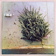 O Christmas Tree<br /> <br /> New York, U.S. - A discarded Christmas tree as seen from above along the sidewalks of New York City awaiting pick-up.<br /> <br /> O' Christmas Tree - Launched December 24, 2013 - The Christmas tree has become so popular that 8 in 10 Americans say they plan to put one up this year, according to Pew Research Center, bringing the annual U.S. holiday tree market to $1 billion. For the next week, everyone who celebrates the Christmas holiday will be doting over these brightly lit holiday centerpieces until Christmas finally comes. Then, when it's all over, they'll be just as quickly forgotten. The contrast between affection and then abandonment is central to Bryan Smith's set of images titled 'O Christmas Tree'. Bryan wandered the streets the of New York City creating these beautiful images of abandoned Christmas trees at the end of last years festive season.The tree tradition began in the Middle Ages in Roman Catholic countries, when the Feast Day of Adam and Eve was celebrated on Dec. 24. The Germans would do a procession carrying ''paradise trees'' with apples on them representing the forbidden fruit. In England during the Victorian era, when Queen Victoria married Prince Albert, a German, he brought Christmas trees into their palaces. The first official Christmas tree in the USA was lit up in 1842 In Williamsburg, Virginia. <br /> ©Exclusivepix