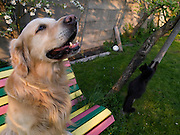 Golden Retriever Lemmy mit Haus- und Straßenkatze Maxi.<br /> <br /> Golden Retriever Lemmy with street- and housecat Maxi.