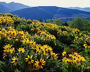 Arrowleaf Balsam Root, Balsamorhiza sagittata, blooming in foothills of the Pioneer Mountains, Sun Valley, Idaho.