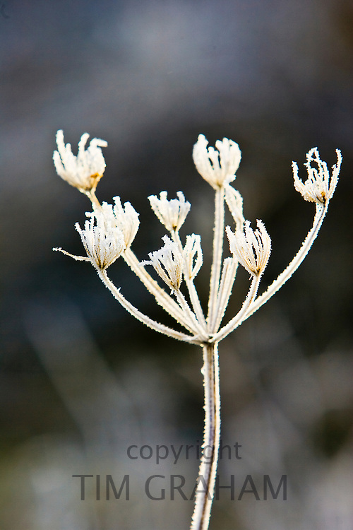 Hoar frost covered Cow Parsley, Oxfordshire, England, United Kingdom