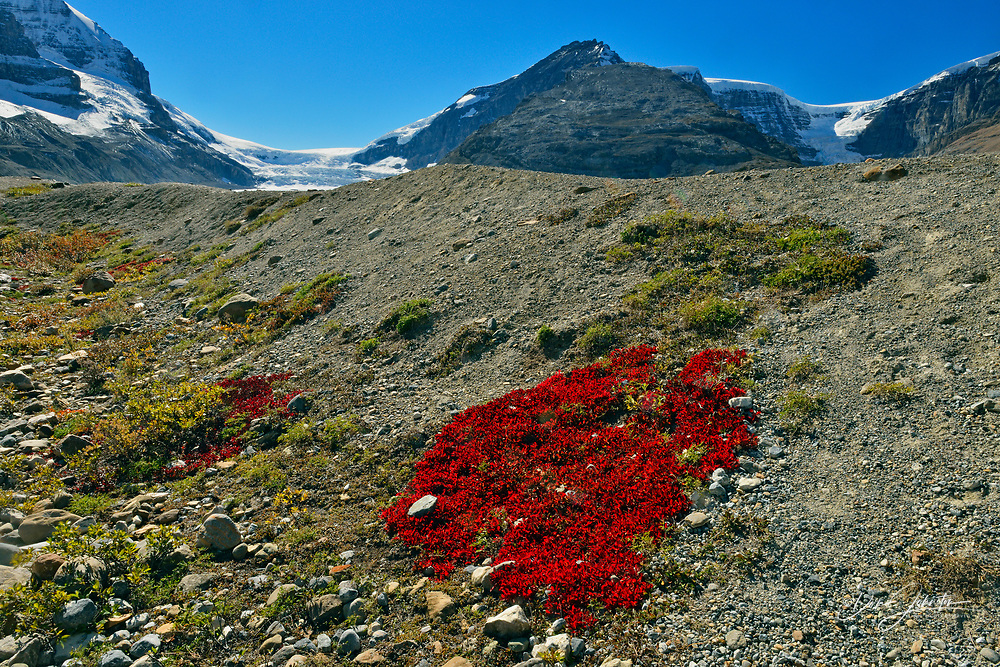 Autumn bearberry colonies on stony glacial till with Athebasca and Snow Dome Glaciers, Jasper National Park, Alberta, Canada
