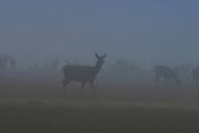 Wapiti, Deer, South Island, New Zealand