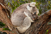 Koala mother and baby snuggling in the crook of a tree branch. Wildlife and nature photography, fine art photography prints, stock images.