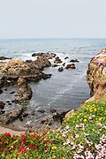 Flowers cover the rocky shoreline.Russian Gulch State Park.Mendacino,California