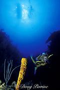 diver examines yellow tube sponge or sulfur sponge, Aplysina fistularis ( formerly Verongia fistularis ), Ambergris Caye, Belize, Central America ( Caribbean Sea ) MR 106