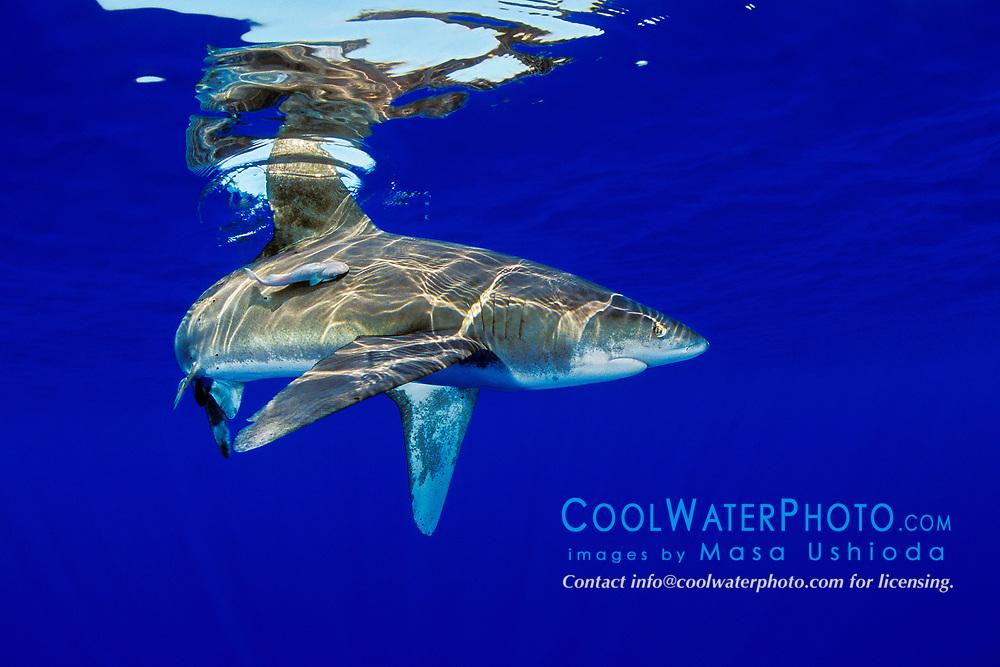 oceanic whitetip shark with remora, Carcharhinus longimanus, off Kona Coast, Big Island, Hawaii, Pacific Ocean