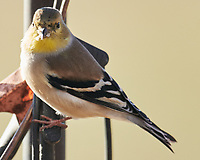American Goldfinch (Spinus tristis). Image taken with a Nikon D800 camera and 600 mm f/4 VR lens.