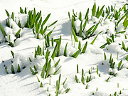Daffodils poke through the snow on cold, spring, Wisconsin morning.