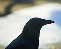 Black American Crow. Image taken with a Nikon D5 Camera and 600 mm f/4 VR lens.