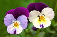 Viola flowers in Kodiak, Alaska garden