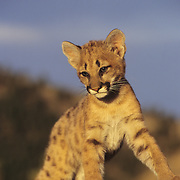 Mountain Lion cub in the Rocky Mountains of Montana. Captive Animal