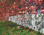 Cherry Blossoms, Fence, New York, Greenport