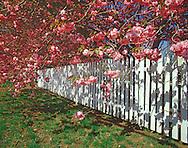 Cherry Blossoms, Fence, New York, Greenport