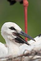 White Stork (Ciconia Ciconia) chick around Prypiat area, Turov, Belarus