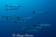schooling barracuda, Sphyraena sp., Bay of Wrecks, Christmas Island, Line Islands, Republic of Kiribati<br /> ( Central Pacific )
