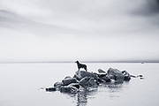 Rico, Trevor McGregor's 10 year old gordon setter, swimming in Flathead Lake and climbing on the rocks after diving in off the dock.