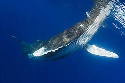 Humpback Whale, Megaptera novaeangliae, spyhopping, Hawaii, Pacific Ocean