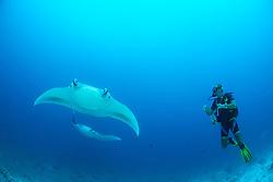 Manta alfredi, Riffmanta, Manta, Teufelsrochen,  Reefmanta, Lakkadiven See, Indischener Ozean, Maradhoo, Gan, Addu Atoll, Malediven, Asien, Laccadive Sea, Maldives, Indian Ocean, Asia