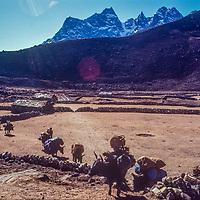 Yaks carrying loads for trekkers pass through potato fields in the Gokyo Valley in the Khumbu region of Nepal's Himalaya.