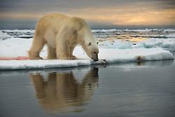 Polar bear (Ursus maritimus) on drifting ice in Svalbard, Norway