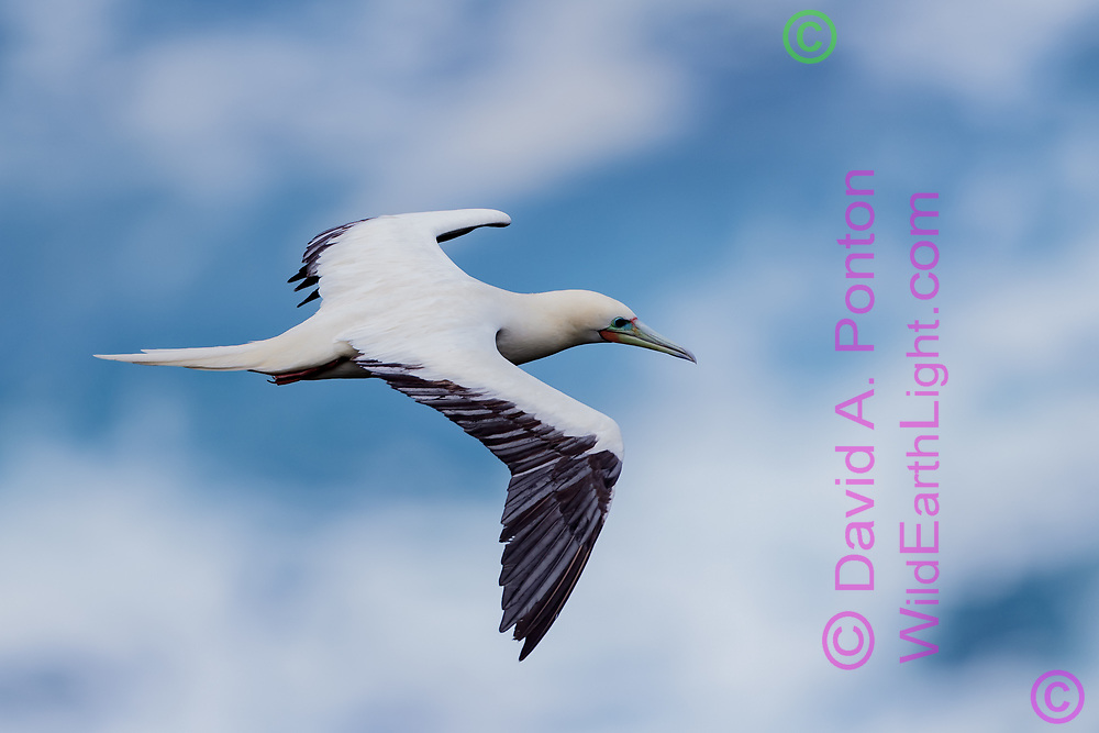 Red-footed booby  in flight, cloudy blue sky background, Hawaii, © David A. Ponton