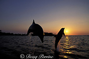 bottlenose dolphins, Tursiops truncatus, jumping at sunset, Anthony's Key Resort, Roatan, Bay Islands, Honduras ( Caribbean Sea )