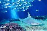 sandbar shark, Carcharhinus plumbeus, and bigeye scad ( akule ), Selar crumenophathalmus, Maui Ocean Center, Hawaii