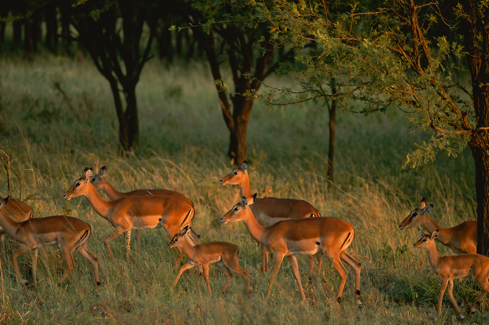 A group of antelope roaming the grassland.